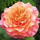 Саджанці кущової троянди Вестерленд (Rose Westerland), фото 2