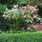 Саджанці кущової троянди Вестерленд (Rose Westerland), фото 3