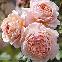 Роза английская Э Шропшир Лэд (A Shropshire Lad)