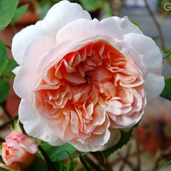 Саженцы розы английской Эвелин (Rose Evelyn)