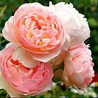 Саженцы розы английской Эвелин (Rose Evelyn), фото 2