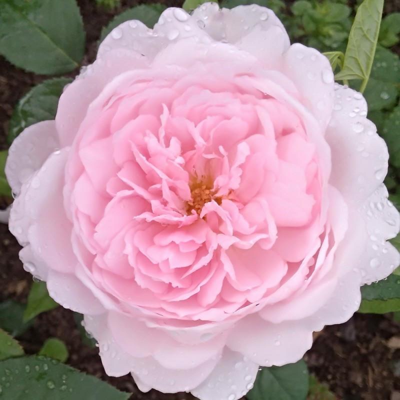 Саженцы розы английской Шарифа Асма (Rose Sharifa Asma)