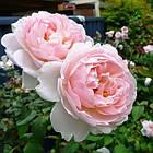 Саженцы розы английской Шарифа Асма (Rose Sharifa Asma), фото 2