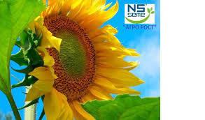Семена подсолнечника НС-Х-6042   (устойчивый к заразихе A-Е) 110-115г. Нови Сад (Сербия), фото 2