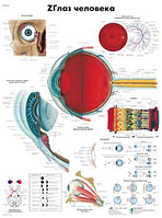 Анатомический плакат 67х50см. Код.ZVR6226L (глаз человека)