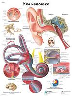 Анатомический плакат 67х50см. Код.ZVR6243L (ухо человека)