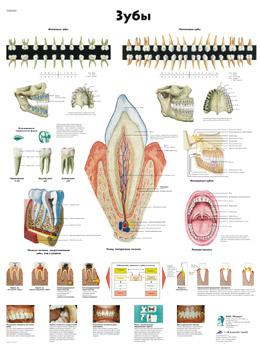 Анатомический плакат 67х50см. Код.ZVR6263L (зубы)