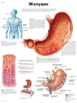 Анатомический плакат 67х50см. (желудок)