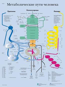 Анатомический плакат 67х50см. (метаболические пути человека)