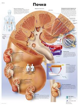 Анатомический плакат 67х50см. (почка)