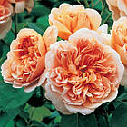Саженцы розы английской Ти Клиппер (Rose Tea Clipper), фото 2