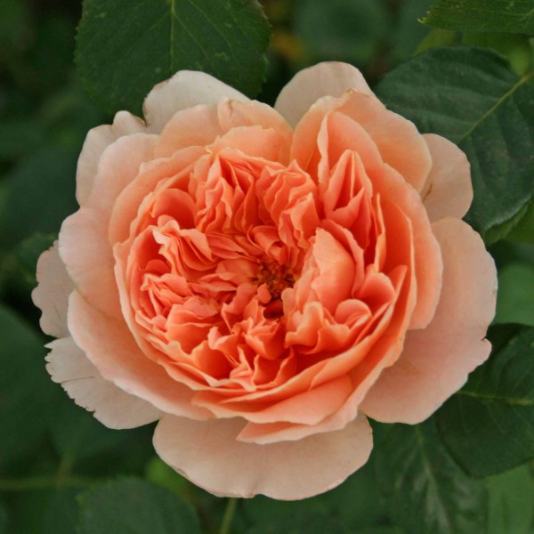 Саженцы розы английской Ти Клиппер (Rose Tea Clipper)