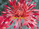 Корейська хризантема ТЕМНІ ВІЇ, фото 2
