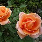 Саженцы розы чайно-гибридной Аббай де Клуни (Rose Abbayede Cluny), фото 2