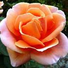 Саженцы розы чайно-гибридной Аббай де Клуни (Rose Abbayede Cluny), фото 3