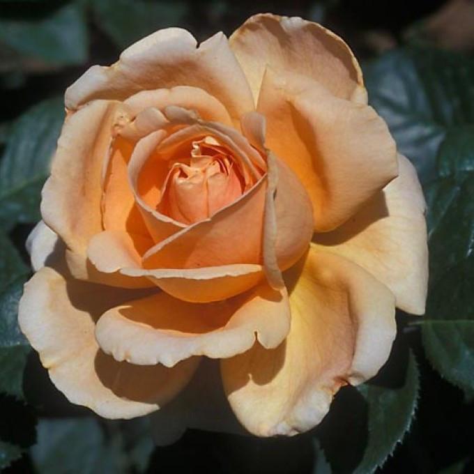 Саженцы розы чайно-гибридной Аббай де Клуни (Rose Abbayede Cluny)