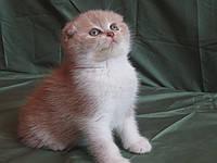 Породистые шотландские котята.