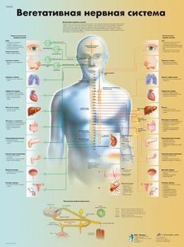 Анатомический плакат 67х50см. (вегетативная нервная система)
