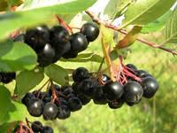 Аронии (черноплодной рябины) сухой экстракт