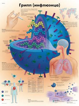 Анатомический плакат 67х50см. (грипп -инфлюэнца)