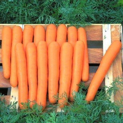 Семена моркови Маэстро F1, Hazera 100 000 семян VD | профессиональные