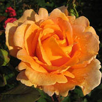 Троянди чайно-гібридна Луї де Фюнес