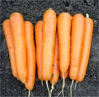 Семена моркови Аттилио F1, Hazera 100 000 семян