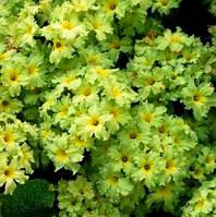 Примула с зелеными цветами Франческа