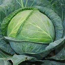 Семена капусты б/к Атрия F1 (2500 сем.)