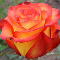 Роза чайно-гибридная Циркус
