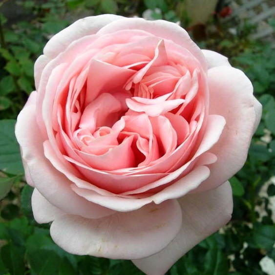Саджанці чайно-гібридної троянди Афродіта (Rose Aphrodita)