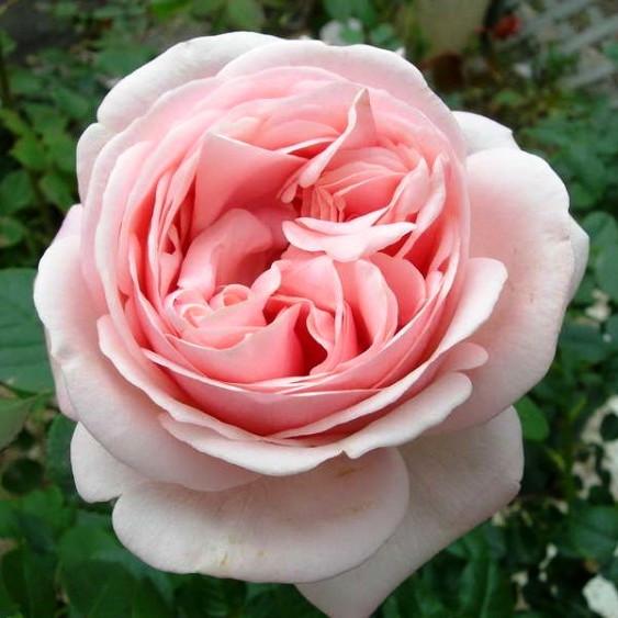 Саженцы розы чайно-гибридной Афродита (Rose Aphrodita)