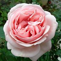 Роза чайно-гибридная Афродита (Aphrodita)
