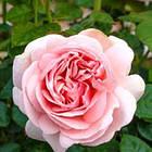 Саджанці чайно-гібридної троянди Афродіта (Rose Aphrodita), фото 2
