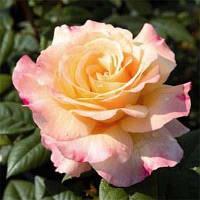 Роза чайно-гибридная Акварель (Aquarell)