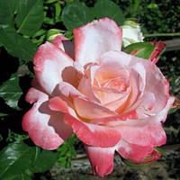 Троянди чайно-гібридна Біг Епл
