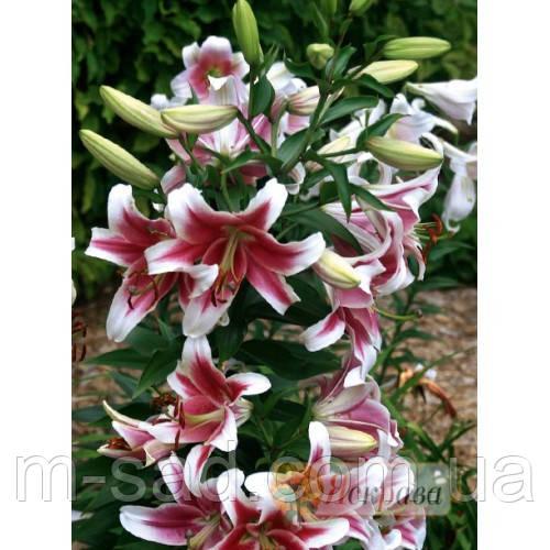 Лилия с гигантским цветком Candy Club