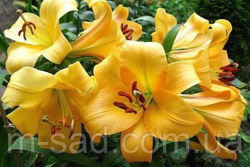 Лилия с гигантскими цветами Faconnable 12/14, фото 2