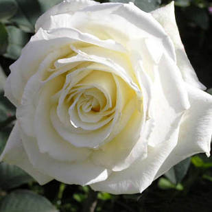 Саженцы чайно-гибридной розы Аваланч (Rose Avalanche)