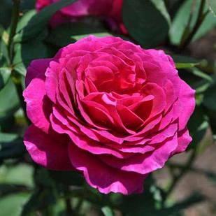Саженцы чайно-гибридной розы Биг Перпл (Rose Big Purple)
