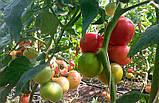 Хани Мун F1 250 шт семена томата высокорослого розового Clause Франция, фото 3