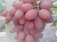 Гелиос (  Аркадия  розовая )