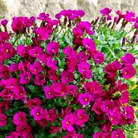 Обриета розовая Лукас, фото 1