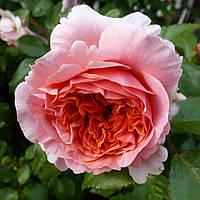 Роза чайно-гибридная Чиппендейл (Rose Chippendale)