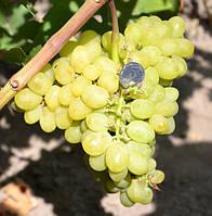 Саженец винограда Валек  (ранний)