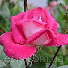 Роза штамбовая Акапелла (Acapella)