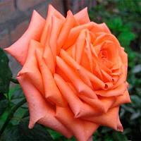Роза чайно-гибридная Эльдорадо (Eldorado)