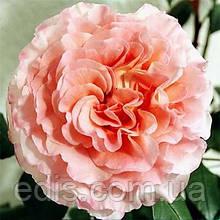 Роза штамбовая Августа Луиза (Augusta Luise)