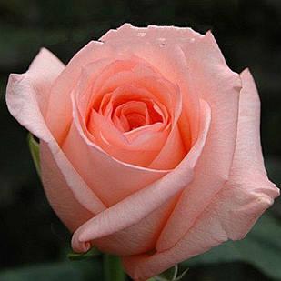 Саженцы чайно-гибридной розы Ангажимент (Rose Engagement)