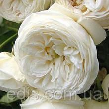 Роза штамбовая Артемис (Artemis)